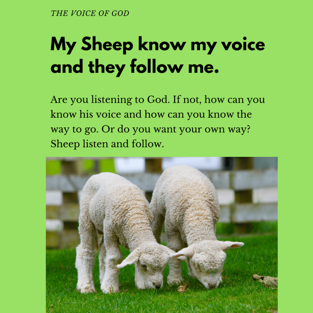 Sheep grazing. Text about hear God's voice. God's sheep know His voice and they follow Him.